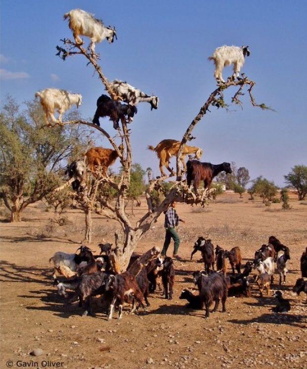tree_goats